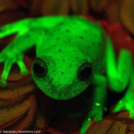 CHRO1785 - Grenouille fluorescente.mp3