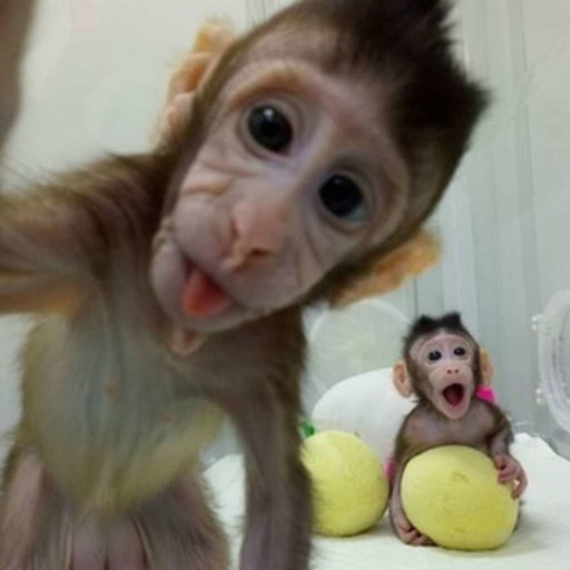 Two cloned monkeys make us wonder: When will humans be cloned?