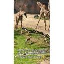 Une girafe enlève une branche sur la tête d'une gazelle